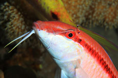 Redstriped goatfish. Parupeneus rubescens with cleaner shrimp underwater in the coral reef royalty free stock photo