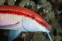 Redstriped goatfish. Parupeneus rubescens with cleaner shrimps royalty free stock photo
