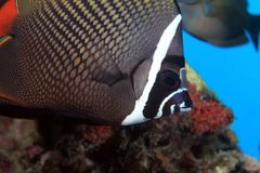Redtail butterflyfish Royalty Free Stock Images