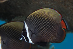 Redtail butterflyfish Stock Photos