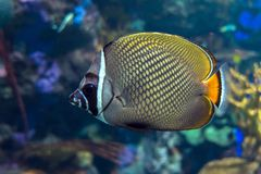 Redtail butterflyfish Chaetodon collare in the indian ocean. Close up Stock Photos