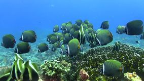 School of Redtail butterflyfish Maldives stock video
