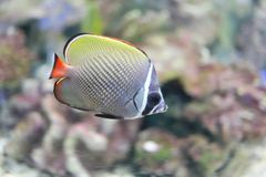 Redtail butterflyfish Royalty Free Stock Image