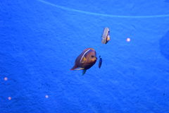 Redtail butterflyfish Royalty Free Stock Photography