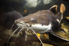 Redtail Catfish Royalty Free Stock Image