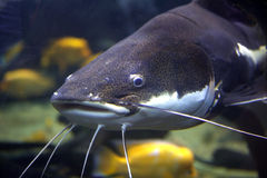 Redtail Catfish Royalty Free Stock Photo