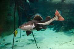 Redtail catfish Stock Photography