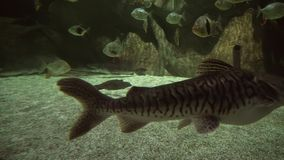 Redtail catfish in freshwater aquarium stock footage video. Redtail catfish in a freshwater aquarium stock footage video stock video