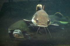 Redtail catfish and Malaysian giant turtle. Royalty Free Stock Photo