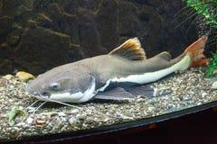 Redtail catfish Phractocephalus hemioliopterus Royalty Free Stock Image