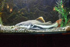 Redtail catfish Phractocephalus hemioliopterus Stock Photos