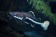 Redtail catfish Phractocephalus hemioliopterus. Stock Images