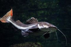 Redtail catfish Phractocephalus hemioliopterus. Royalty Free Stock Images