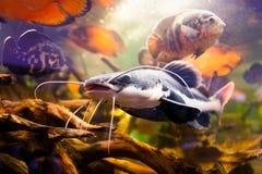 Redtail catfish Phractocephalus hemioliopterus . Freshwater fish. Royalty Free Stock Images