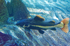 Redtail catfish Stock Images