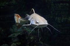 Redtail catfish Phractocephalus hemioliopterus. Royalty Free Stock Photos