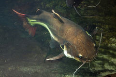 Redtail catfish (Phractocephalus hemioliopterus). Royalty Free Stock Photography