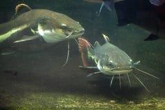 Redtail catfish (Phractocephalus hemioliopterus). Royalty Free Stock Photos