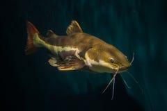 Redtail Catfish. (Practocephalus hermioliopterus Royalty Free Stock Photo