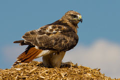 Redtail-Falke stockfotografie