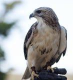 Redtail-Falke stockbilder