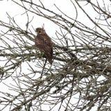 Redtail-Falke gehockt in einem Baum stockbilder