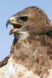Redtail-Falke-Nahaufnahme Stockfotografie