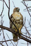 Redtail Hawk Royalty Free Stock Images