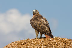 Redtail Hawk Stock Images