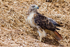Redtail Hawk Stock Photo