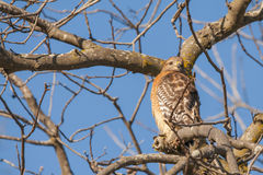 Redtail Hawk Stock Photos