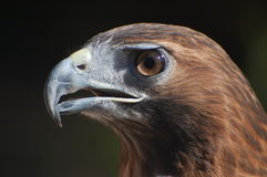 Redtail Hawk Royalty Free Stock Photography
