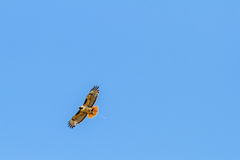 Redtail Hawk Clutches Prey Stock Images