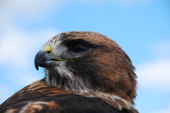 Redtail Hawk Headshot Looking Left. A redtail looks left into the sky with an intense stare Stock Image
