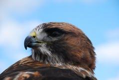 Redtail Hawk Headshot Looking Left Stock Image