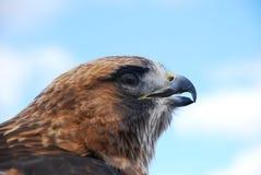 Redtail Hawk Headshot Looking Right Royalty-vrije Stock Fotografie