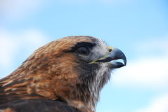 Redtail Hawk Headshot Looking Right Royalty Free Stock Photography