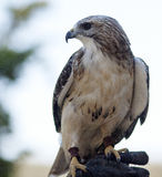 Redtail Hawk. Hawk, perched on handler`s hand, glaring at the camera Stock Images
