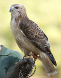 Redtail Hawk. Hawk, perched on handler`s hand, glaring at the camera Royalty Free Stock Photos