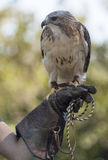 Redtail Hawk. Hawk, perched on handler`s hand, glaring at the camera Royalty Free Stock Photo