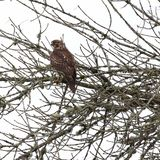 Redtail Hawk perched in a tree stock images