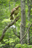 Redtail hawk in a tree, feeding on a garter snake. Royalty Free Stock Photography