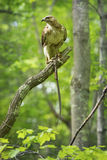 Redtail hawk in a tree, feeding on a garter snake. Royalty Free Stock Image