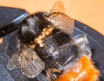 Redtailed bumble bee. Red tailed bumble bee with parasitic infestation macro Stock Photography