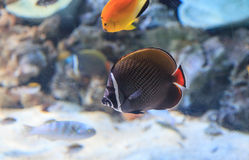 Redtailed butterflyfish, Chaetodon collare royalty-vrije stock foto's