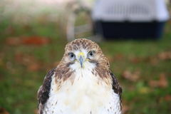 Redtailed Hawk Royalty Free Stock Photos