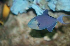 Redtooth引金鱼(Odonus尼日尔) 免版税库存照片