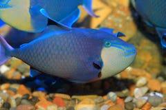 Redtooth triggerfish Fotografering för Bildbyråer