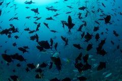 Redtooth Triggerfish in Fiji Royalty Free Stock Photo
