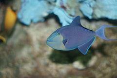 Redtooth triggerfish (Odonus Niger) royalty-vrije stock foto's